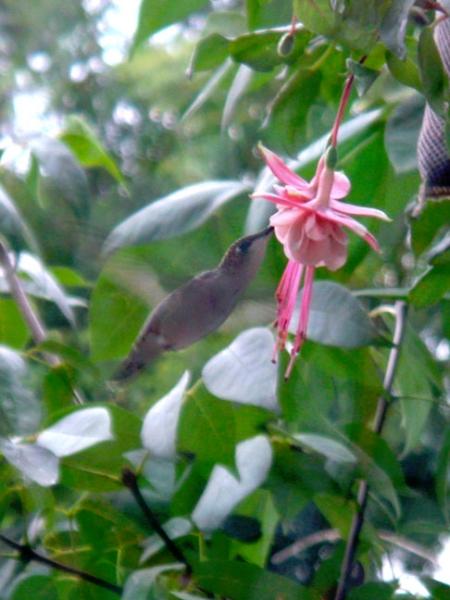 4webhummingbird