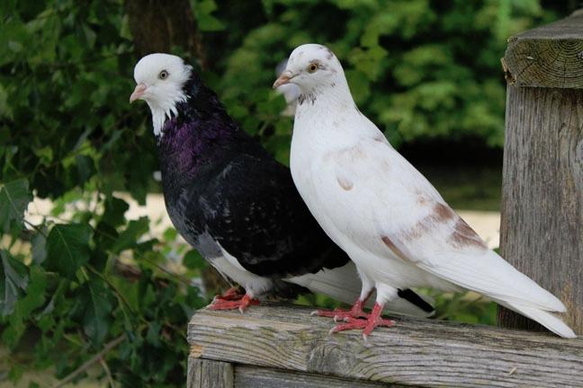 4webpigeons