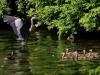 4webhoron-ducks